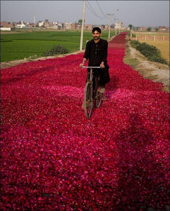 Дорога из лепестков роз (2 фото)