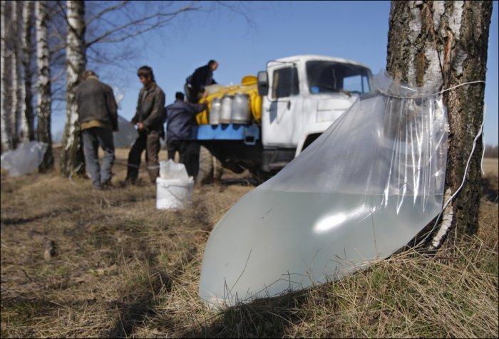 Сбор березового сока в Белоруссии (3 фото)