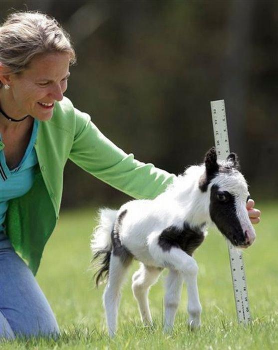 Самая маленькая лошадь в мире (25 фото)