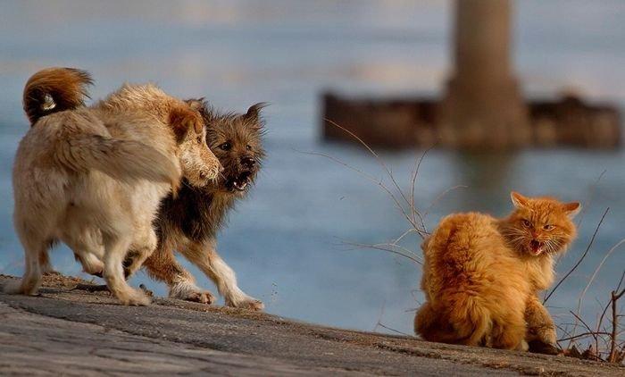 Кот против стаи собак (6 фото)
