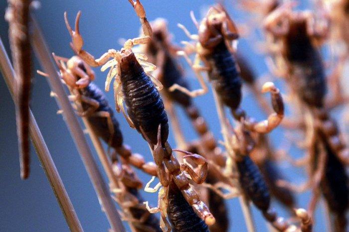 Блюда из насекомых (16 фото)