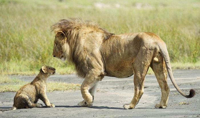 Разборки в львиной семье (4 фото)