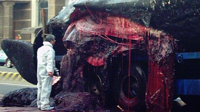 Кашалот взорвался при перевозке (9 фото)