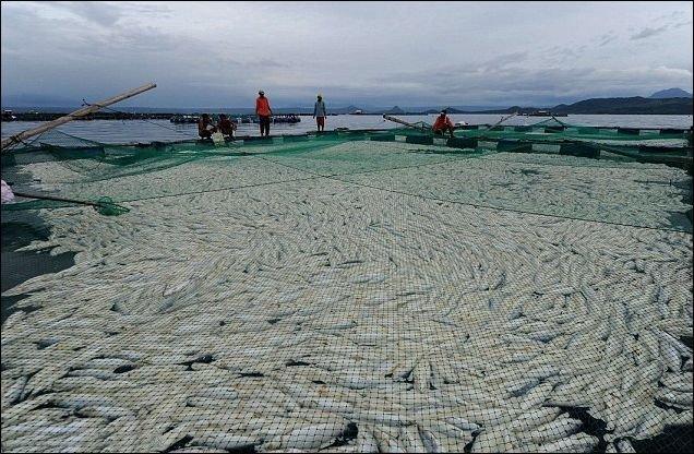 800 тонн мертвой рыбы (9 фото)