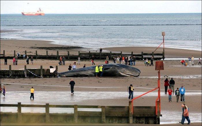 Кашалот выбросился на берег (7 фото)