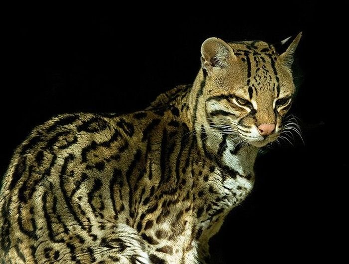 Дикий кот оцелот (22 фото)
