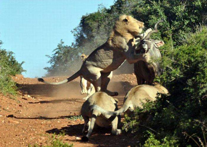 Антилопа против львов (5 фото)