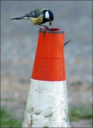 Гнездо в дорожном конусе (4 фото)