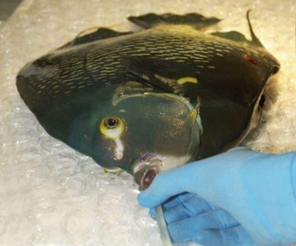 Рыбья операция (4 фото)