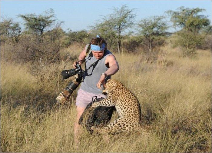 Леопард прогнал фотографов (5 фото)
