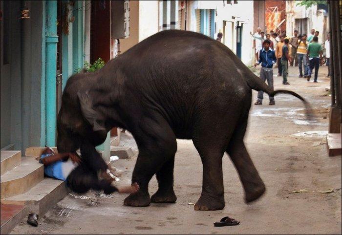 Слоновий бунт в Индии (6 фото)